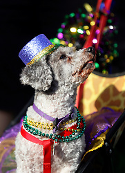 31 January 2016. New Orleans, Louisiana.<br /> Mardi Gras Dog Parade. Poodle at he parade. The Mystic Krewe of Barkus winds its way around the French Quarter with dogs and their owners dressed up for this year's theme, 'From the Doghouse to the Whitehouse.' <br /> Photo©; Charlie Varley/varleypix.com