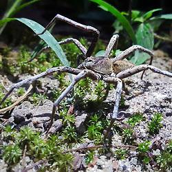 Aranha (Aracnídeo) fotografado em Linhares, norte do Espírito Santo -  Sudeste do Brasil. Bioma Mata Atlântica. Registro feito em 2018.<br /> ⠀<br /> ⠀<br /> <br /> <br /> <br /> <br /> ENGLISH: Spider photographed in Linhares, North of Espírito Santo - Southeast of Brazil. Atlantic Forest Biome. Picture made in 2018.
