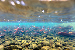 """Spawning Kokanee Salmon 1"" - Underwater photograph of red Kokanee Salmon spawning in a Tahoe area river."