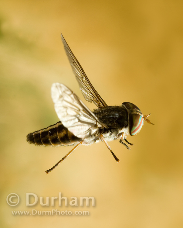 A female striped horse fly (Tabanus similis) in flight. Collected off a horse and photographed with a high-speed camera. NE Oregon.<br /> Please Note: This image has been digitally corrected. The background was expanded for better composition, the insect is unaltered.<br /> A female striped horse fly (Tabanus similis) in flight. Collected off a horse and photographed with a high-speed camera. NE Oregon.<br /> Please Note: This image has been digitally corrected. The background was expanded for better composition, the insect is unaltered.
