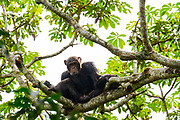 Chimpanzee (Pan troglodytes) Chimpanzee on a high tree, Kibale national park, Uganda