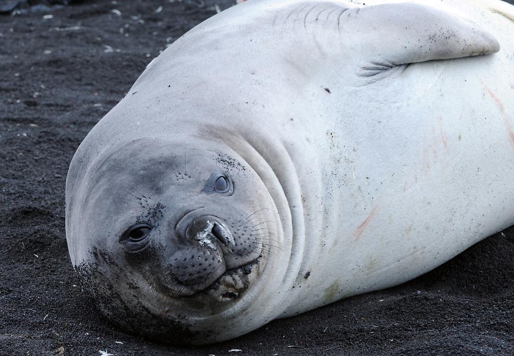Juvenile southern elephant seal (Mirounga leonina) on the black volcanic sand of  Saunders Island. Saunders Island, South Sandwich Islands. South Atlantic Ocean. 25Feb16