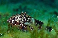 Brown Grouper (Epinephelus marginatus)   Brauner Zackenbarsch, Gozo, Maltese Islands