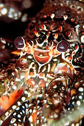 spotted spiny lobster, Panulirus guttatus, Grecian Rocks, Key Largo, Florida Keys National Marine Sanctuary, Florida, Atlantic Ocean
