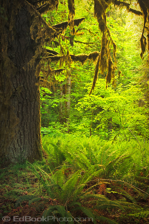 Moss covered Big Leaf Maple and Vine Maple understory are bathed in evening golden alpenglow.  Duckabush River, Olympic National Forest, WA, USA