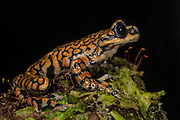 Prince Charles Stream Frog (Hyloscirtus princecharlesi)<br /> CAPTIVE<br /> ECUADOR. South America<br /> Threatened species due to habitat loss.<br /> RANGE: Ecuador<br /> New to Science<br /> Named after Prince Charles<br /> Endangered