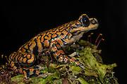 Prince Charles Stream Frog (Hyloscirtus princecharlesi)<br /> CAPTIVE<br /> ECUADOR. South America<br /> Threatened species due to habitat loss.<br /> RANGE: Ecuador<br /> New to Science<br /> Named after Prince Charles<br /> Endangered