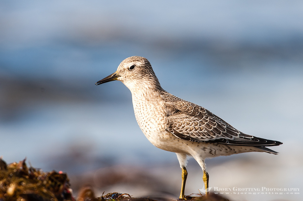 The Wood Sandpiper is a small wader and the smallest of the shanks. At Revtangen on Jaeren, south west Norway.