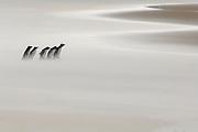 Bei Niedrigwasser haben die Felsenpinguine (Eudyptes chrysocome) auf ihrem Weg von der Kolonie zum Meer eine breite, windgepeitschte Sandfläche zu überqueren. Saunders Island, Südatlantik, Falklandinseln | On their way from the colony to the ocean the rockhopper penguins (Eudyptes chrysocome) have to cross a broad sand flat. Saunders Island, South Atlantic Falkland Islands