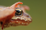 Common frog, Rana temporaria in Yli-Vuokki old forest reserve in Suomussalmi, Finland.