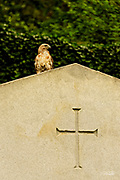 """The Red-tailed Hawk (Buteo jamaicensis), also sometimes known as a """"chicken hawk"""", is one of the most common buteos in North America.  These hawks breed throughout most of North America, from western Alaska and northern Canada to as far south as Panama and the West Indies.  There are fourteen recognized subspecies, which vary in appearance and range. The Red-tail typically has a wingspan of 43 to 57 inches, being 18 to 26 inches in length and weighing 1.5 to 3.5 pounds, thus making it one of the largest members of the genus Buteo in North America."""