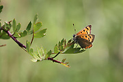 Small Copper Butterfly, Lycaena phlaeas, perched on hawthorn, (backlit) in Perthshire  Scotland