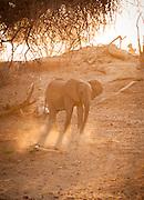 Desert Elephant in sunlight, The Kaokoveld Desert, Kaokoland, Northern Namibia, Southern Africa