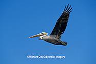 00672-00520 Brown Pelican (Pelecanus occidentalis)  in flight South Padre Island TX