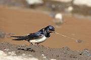 Barn Swallow collecting mud, Hirundo rustica, Perthshire, Scotland