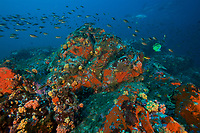 Deep rocky seamount at 30 m depth, covered in rich, colorful invertebrate life including anemones, sponges and corals.  <br />Schools of damselfish in foreground, with jacks in the distance.<br /><br />Coiba Island<br />Coiba National Park<br />Panama<br /><br />Bajo Veinte dive site