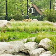 NLD/Rotterdam/20150626 - Paul de Leeuw opent nieuwe leeuwenverblijf Diergaarde Blijdorp,