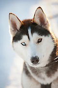 Portrait of a husky, Norrbotten, Sweden, Lapland