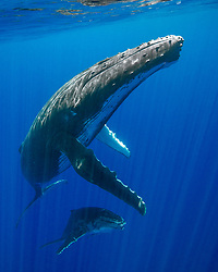 A Humpback Whale mother and calf, Megaptera novaeangliae, ascend to breathe. Moorea, French Polynesia, Pacific Ocean