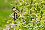 03017-01704 Giant Swallowtail (Papilio cresphontes) on Wild Bergamot (Monarda fistulosa) Marion Co. IL