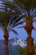 Palm Trees with the San Jacinto Mountains, Rancho Mirage, California.
