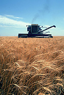 A 26.9 MG FILE FROM FILM OF:.a Wheat field and combine in central Kansas. photo  by Dennis Brack