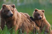 A Brown or Grizzly Bear Sow with cub, Lake Clark National Park, Alaska.