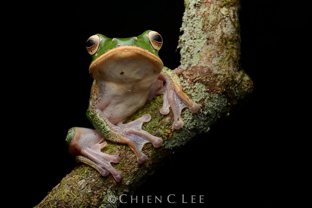 White-lipped Bright-eyed Frog (Boophis albilabris). Masoala National Park, Madagascar.