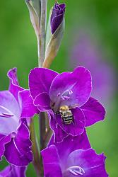 Bumblebee on Gladiolus 'Violetta'