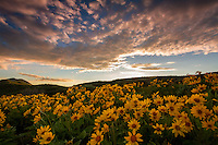 A blanketed hillside of yellow balsamroot, aka mule ear, wildflowers as the sun sets in East Canyon of the Wasatch Mountains near Salt Lake City, Utah.