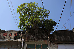 October 5, 2018 - Hong Kong, CHINA - A Chinese Banyan Tree ( Ficus Microcarpa ) is seen here rooted down, snatching onto the wall of old building at historical landmark, Fruits Wholesale Market at Yau Ma Tei Kowloon. Strange scene of a tree surviving on the buildings can be seen in few locations in Hong Kong. Oct-5,2018 Hong Kong.ZUMA/Liau Chung-ren (Credit Image: © Liau Chung-ren/ZUMA Wire)