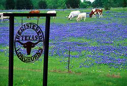 Longhorns standing in a field of bluebonnets