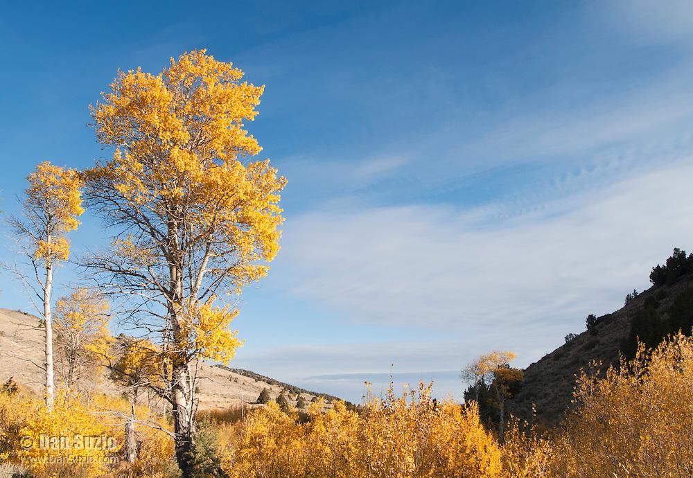 Quaking aspen, Populus tremuloides, in autumn. Hart Mountain National Antelope Refuge, in the high desert of eastern Oregon.