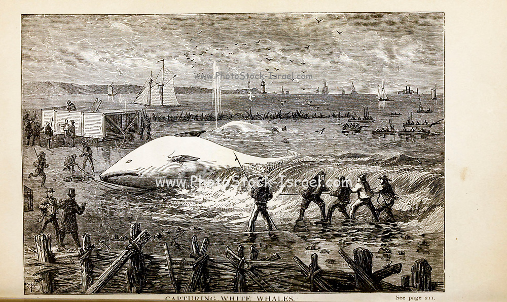 CAPTURING WHITE WHALES From the autobiographical Book ' Struggles and triumphs; or, Forty years' recollections of P.T. Barnum ' By Barnum, P. T. (Phineas Taylor), 1810-1891 Published by The Courier Company Buffalo, N.Y. in 1879. Phineas Taylor Barnum (July 5, 1810 – April 7, 1891) was an American showman, politician, and businessman, remembered for promoting celebrated hoaxes and for founding the Barnum & Bailey Circus (1871–2017). He was also an author, publisher, and philanthropist,