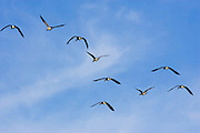 Flock of Canada geese in flight over San Francisco, California, USA