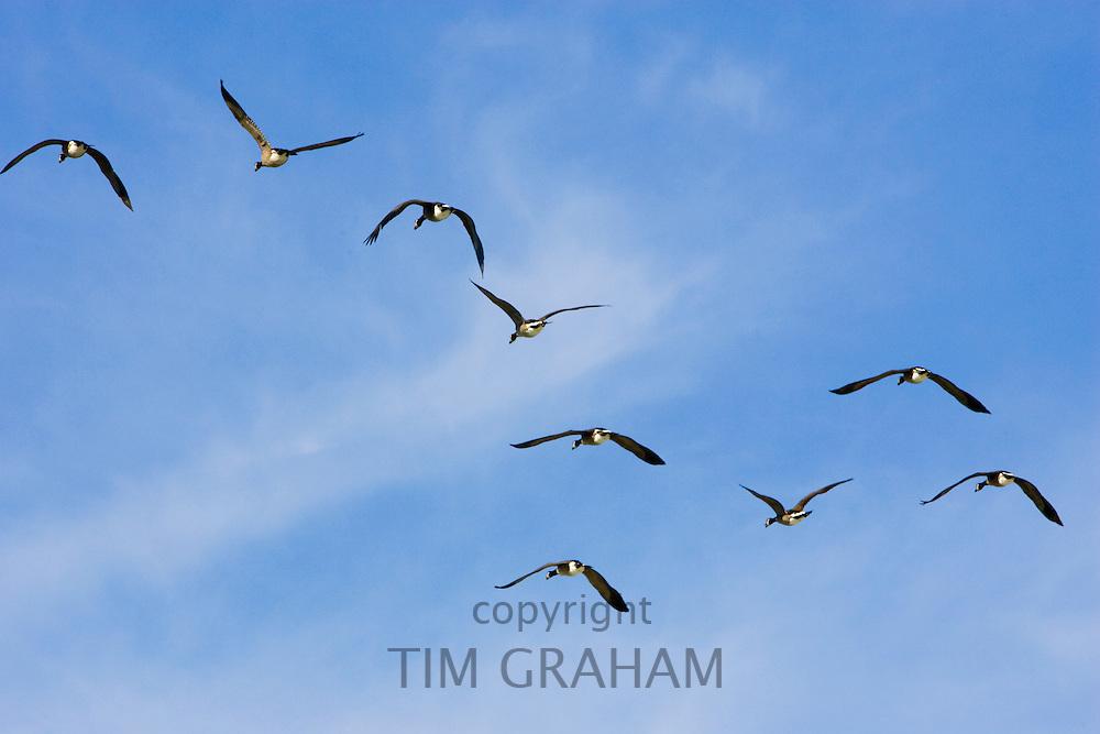 Flock of Canada geese in flight over San Francisco, California, USA