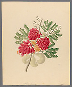 Schotia speciosa [Schotia afra] (1817) from a collection of ' Drawings of plants collected at Cape Town ' by Clemenz Heinrich, Wehdemann, 1762-1835 Collected and drawn in the Cape Colony, South Africa