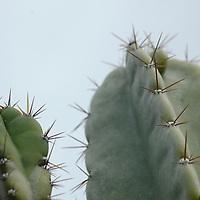 Cactus Head