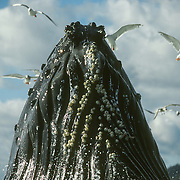 Humpback whales generally have heavy encrustations of barnacles on their throats, pectoral fins and flukes. Whale barnacles are barnacles belonging to the family Coronulidae. Whale barnacles attach themselves to the bodies of baleen whales during the barnacles's free-swimming larval stage. Though often described as parasites, the relationship is an example of obligate commensalism, as the barnacles neither harm, nor benefit, their host. But they are parasitised by whale lice that are actually amphipods: tiny crustaceans that feed off dead skin and pieces of flesh from their host. In normal situations, population of these parasites seem to stay in check, thereby not hurting their large hosts. Cetacean cyamid species are specific to different species of cetaceans and the one that lives on humpbacks is Cyamus boopis.