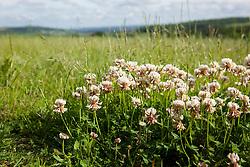 White Clover. Trifolium repens