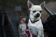 Two Chihuahua dogs looking out of the window of their owners van in Hackney, East London, England, United Kingdom. The Chihuahua is the smallest breed of dog and is named for the state of Chihuahua. Chihuahuas come in a wide variety of sizes, colors, and coat lengths. (photo by Mike Kemp/In Pictures via Getty Images)