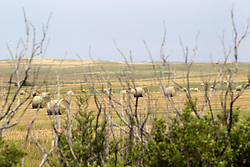 Rolls of hay dot the landscape as ranchers in South Dakota begin to stockpile cattle feed for the next winter.