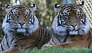 Point Defiance Zoo & Aquarium offers close-up views of Sumatran tigers Indah, left, and Kirana. Dari, not pictured, completes this sister act. The triplets were born in late 2014. (Ken Lambert / The Seattle Times)
