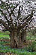 Akebono cherry trees in the Rose Garden at Stanley Park, Vancouver, British Columbia, Canada