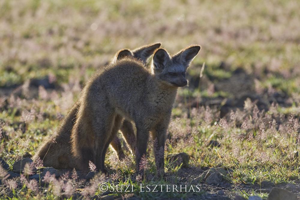 Bat-eared fox<br /> Otocyon megalotis<br /> Ngorongoro Conservation Area, Tanzania
