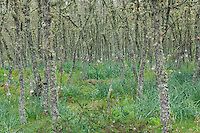 Pyrenean oak (Quercus pyrenaica)  and Asphodelus lilies in Serra de Gata, Salamanca Region, Castilla y León, Spain