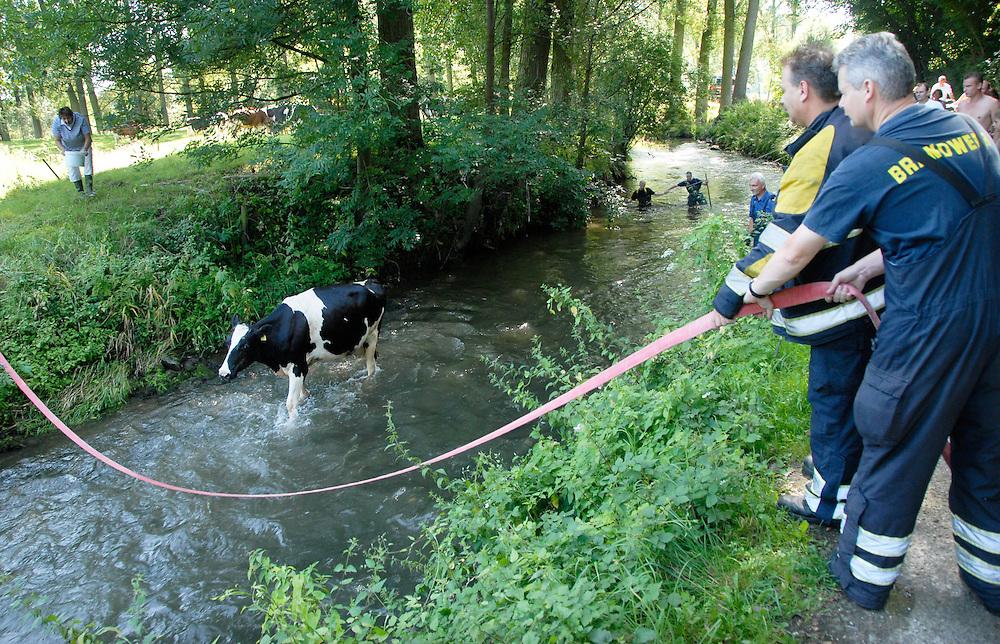 Limburg, 15 aug  2009.Koe is in de Geul gevallen en de brandweer komt haar redden.. Foto: (c) Renee Teunis