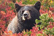 Black Bear cub (Ursus americanus) in a huckleberry patch in Mount Rainier National Park, Washington, USA