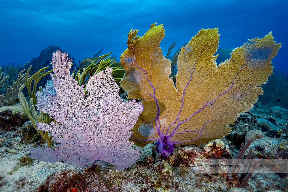 Gorgonian- Gorgone (Gorgonacea), Playa del carmen, Yucatan peninsula, Mexico.