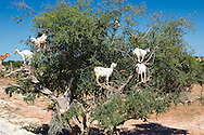 Goats feeding on Argan nuts in an Argon tree. Near Essouira,, Morocco .<br /> <br /> Visit our MOROCCO HISTORIC PLACES PHOTO COLLECTIONS for more   photos  to download or buy as prints https://funkystock.photoshelter.com/gallery-collection/Morocco-Pictures-Photos-and-Images/C0000ds6t1_cvhPo .<br /> <br /> Visit our MOROCCO HISTORIC PLAXES PHOTO COLLECTIONS for more   photos  to download or buy as prints https://funkystock.photoshelter.com/gallery-collection/Morocco-Pictures-Photos-and-Images/C0000ds6t1_cvhPo